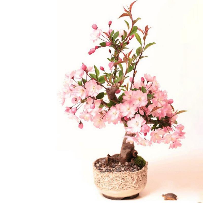 Japanese Garden Indoor: Cherry Blossom Seed Fragrant Japanese Sakura Garden Indoor